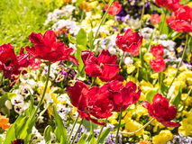 Red Tulips Garden Royalty Free Stock Photography