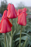 Red tulips. In the garden, spring flowers Stock Photo
