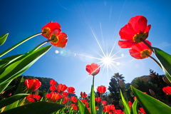 Red tulips in the garden sunny sky royalty free stock image