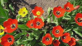 Red tulips in the garden. Top view stock video footage