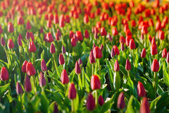 Red tulips in the garden Royalty Free Stock Photo