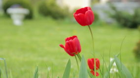 Red tulips gentle sliding motion stock video footage