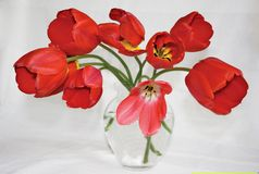 Red tulips in glass vase Royalty Free Stock Images