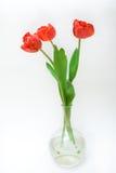 Red tulips. In glass vase Stock Image