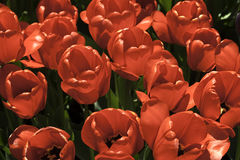 Red Tulips. Tulips glow during the annual Tulip Festival in Washington Park, Albany, New York Royalty Free Stock Images