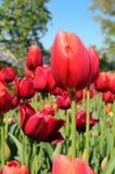 Red Tulips in Graden Stock Images