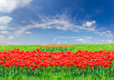 Red tulips among the grass against the sky with clouds. Group of bright red tulips among of a field with grass against the sky with cirrus clouds on a sunny day Royalty Free Stock Photo