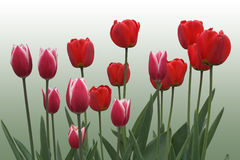 Red tulips on green. A row of red/white tulips on light green background royalty free stock images