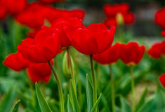 Red tulips on green blurred background. Red tulips with dew drops on green blurred background of spring garden stock images