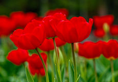 Red tulips on green blurred background. Red tulips with dew drops on green blurred background of spring garden royalty free stock photography