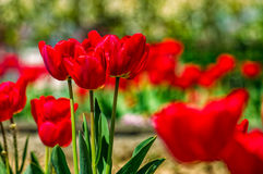 Red tulips on green blurred background. Red tulips with dew drops on green blurred background of spring garden stock image