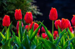 Red tulips on green blurred background. Red tulips with dew drops on green blurred background of spring garden stock photos