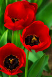 Red tulips on green blurred background Royalty Free Stock Photo