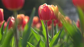 Red tulips in green foliage stock video footage