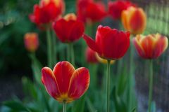 red tulips spring field for celebration design. red background. Nature floral background. Colorful spring tulips. Spring flowers royalty free stock images