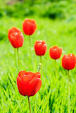Red tulips in green grass backlit. The background blured Royalty Free Stock Photos