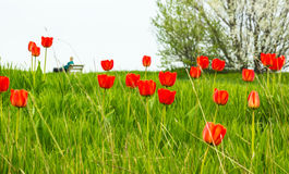 Red tulips in green grass Royalty Free Stock Photography