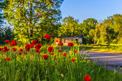 Red tulips in green grass with old house in the background. Red tulips in green grass with old house and tree in the background royalty free stock images