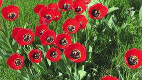 Red tulips on green grass. In summer day stock footage