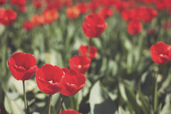 Red tulips and green leaf Stock Image