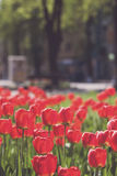 Red tulips and green leaf Royalty Free Stock Image