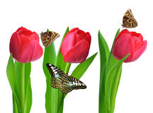 Red tulips with green leaves and butterflies Royalty Free Stock Images