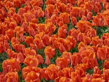 Red tulips with green leaves in field. Red tulips with green leaves on the field with a rainbow during the rain stock photos