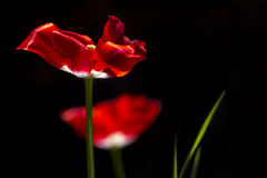 Red tulips Royalty Free Stock Photo