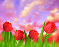 Red tulips with green leaves Royalty Free Stock Images