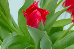 Red tulips. With green leaves, yellow stamens, photographed close, bouquet, flowers Royalty Free Stock Photos