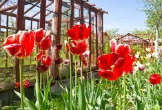 Red tulips on greenhouses Royalty Free Stock Photography