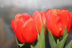 Red Tulips on grey background. Mother`s day and women`s day concept. royalty free stock photo
