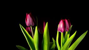 Red tulips grow and bloom, time-lapse stock footage