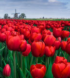 Red Tulips grow in a field in Netherlands with a Windmill. Red Tulips grow in a field in West Friesland, Netherlands and Windmill operates in the background Royalty Free Stock Image