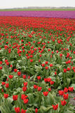 Red Tulips grow in a field of West Friesland in Netherlands. Tulips are a very popular flower to grow in the fields of Holland Royalty Free Stock Photo