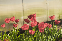 Red tulips grow on land. Red tulips with green sheet grow on land outdoors Royalty Free Stock Image