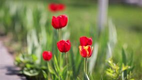 Red tulips grow up on green garden stock video footage