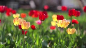 Red tulips grow up on green garden.  stock video