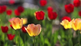 Red tulips grow up on green garden.  stock footage