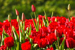 Red tulips growing. The blooming red tulips in the springtime Royalty Free Stock Image