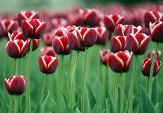 Red tulips. Growing in field Stock Image