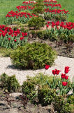 Red tulips growing in the flower bed Stock Image