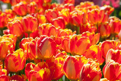 Red tulips growing  in garden Stock Photo