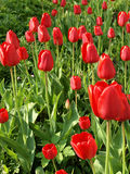 Red tulips growing in Lithuanian green field Stock Photos