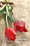 Red tulips held by a ring Royalty Free Stock Images