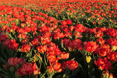 Red tulips in Holland Royalty Free Stock Photo
