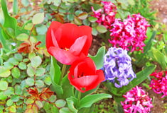 Red tulips and hyacinths Royalty Free Stock Photo