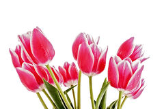 Red Tulips isolated Royalty Free Stock Photography