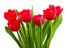 Red tulips,isolated Royalty Free Stock Photography
