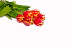 Red tulips, isolated Royalty Free Stock Image